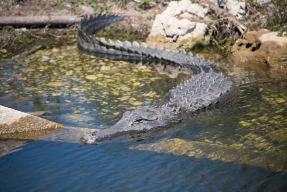 3-2018 alligator alley-4